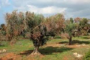 xylella emiliano ulivi